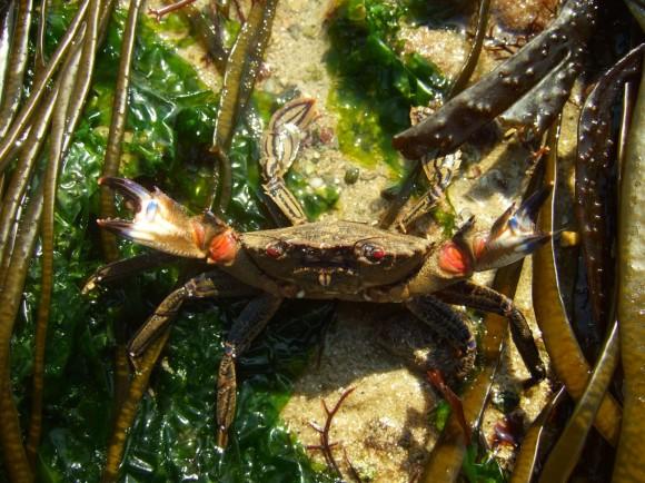 Devils crab